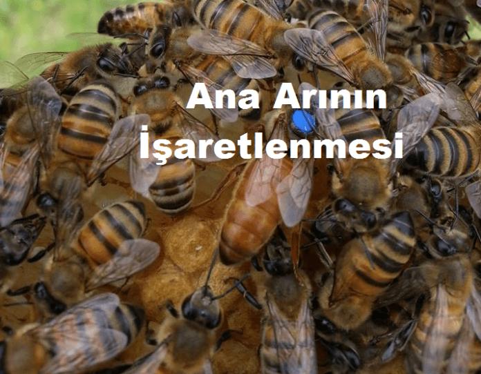 ana arının işaretlemesi