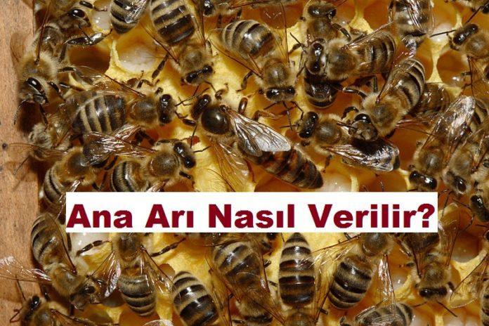 Ana Arı Nasıl Verilir