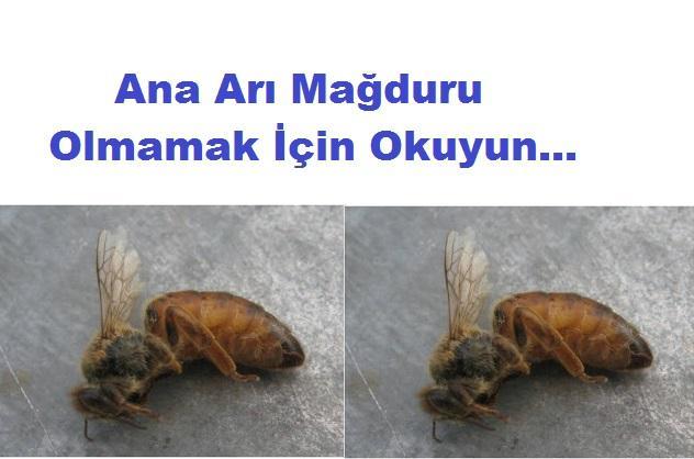 ana arı mağduru olmamak için