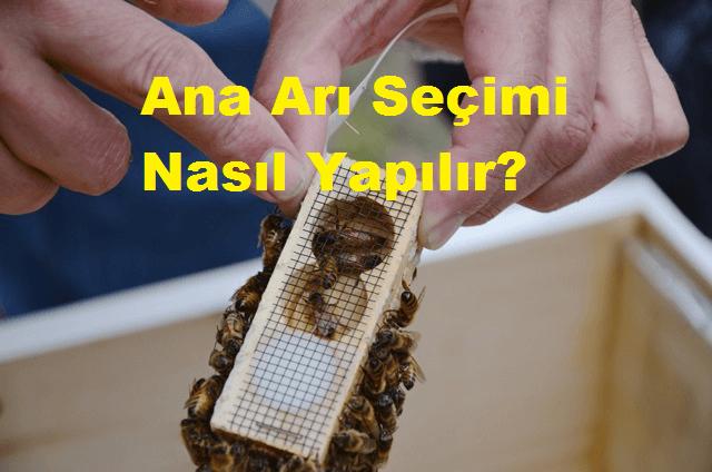 Ana Arı Seçimi Nasıl Yapılır?
