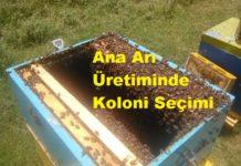 Ana Arı Üretiminde Koloni Seçimi