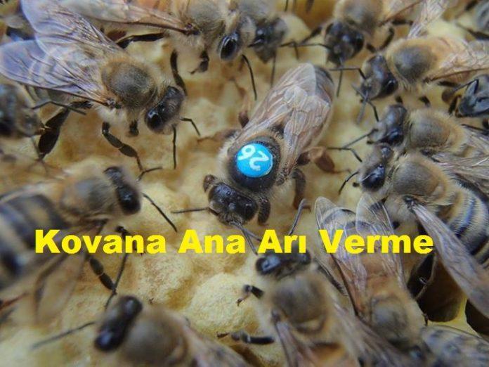 Kovana Ana Arı Verme