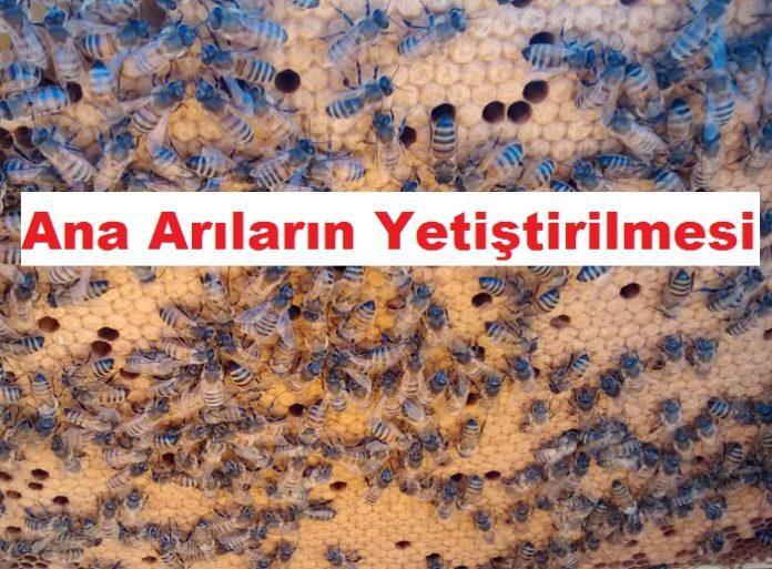 Ana Arıların Yetiştirilmesi