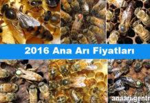 2016 Ana Arı Fiyatları