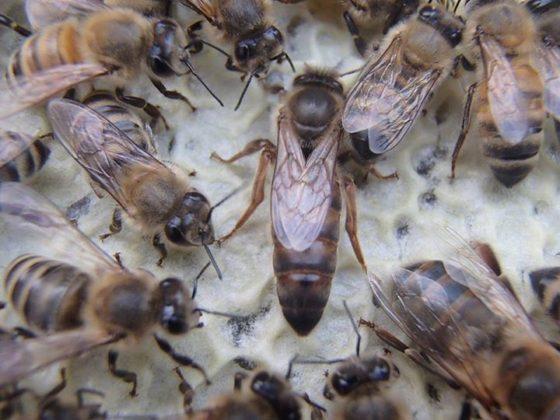 kafkas arısı 2