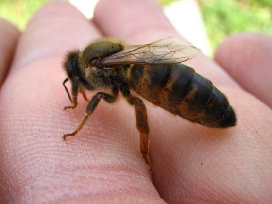 kafkas arısı 7