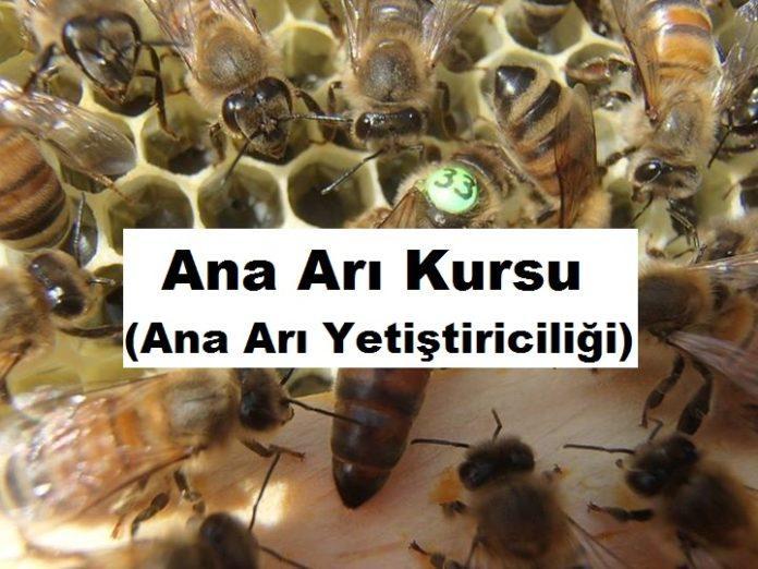 ana arı kursu