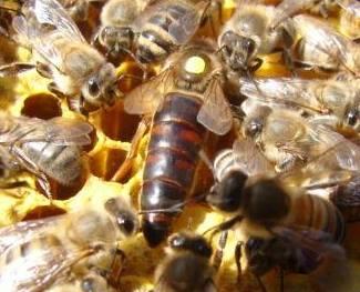 karniyol arısı 1