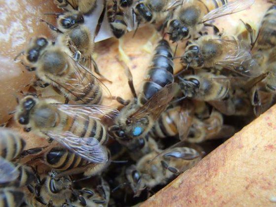 karniyol arısı 10