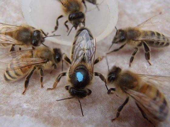 karniyol arısı 11