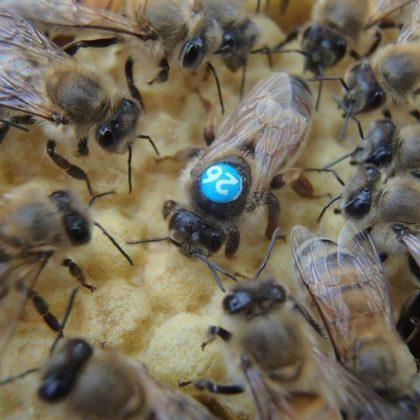 karniyol arısı 2