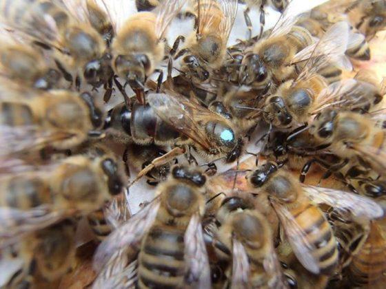 karniyol arısı 3