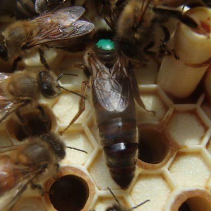karniyol arısı 4