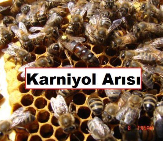 karniyol arısı