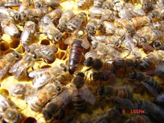 karniyol arısı 6