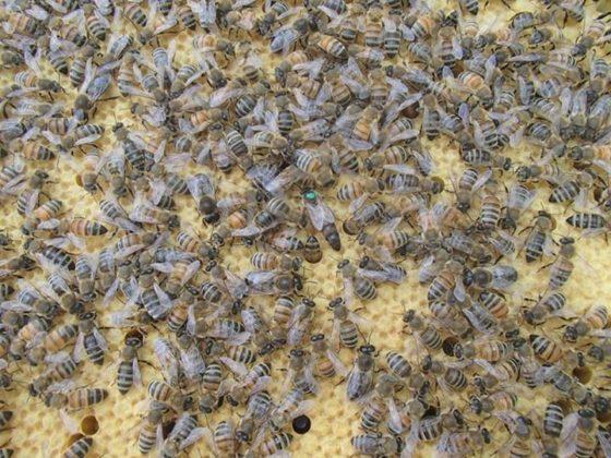 karniyol arısı 7