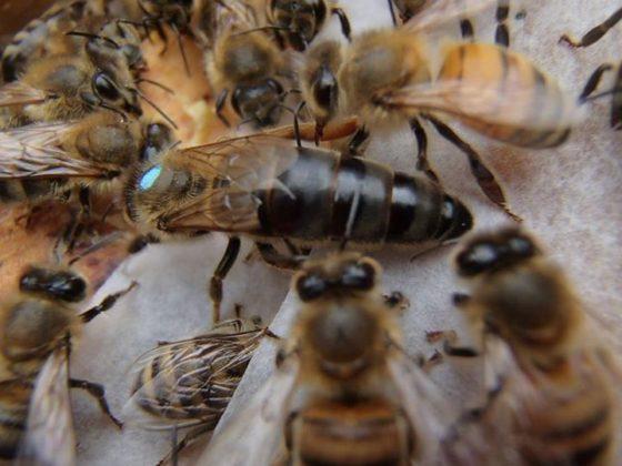 karniyol arısı 8