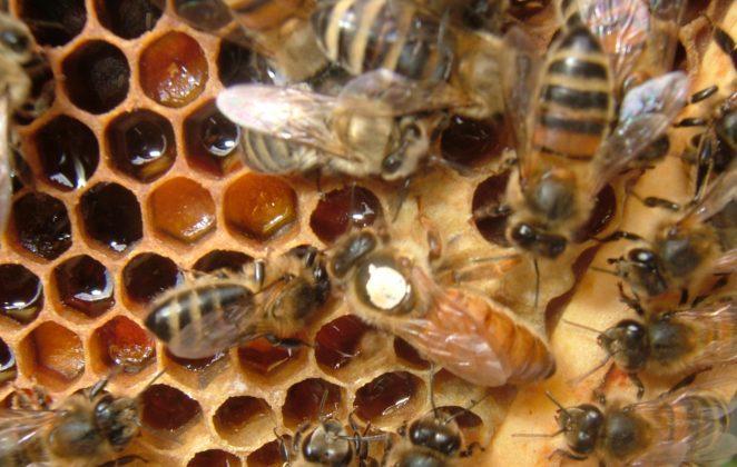 2016 ana arı rengi 1