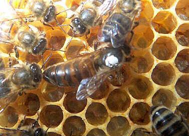 2016 ana arı rengi 3