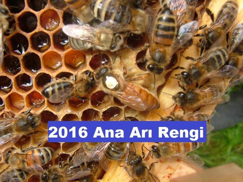 2016 ana arı renk