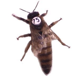2016 yılı ana arı rengi 2