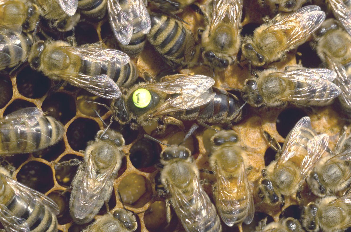 karniyol arısı davranış özellikleri