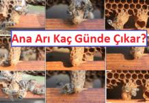 ana arı kaç günde çıkar