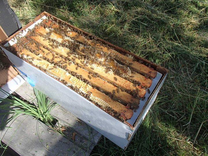 satılık arı 1
