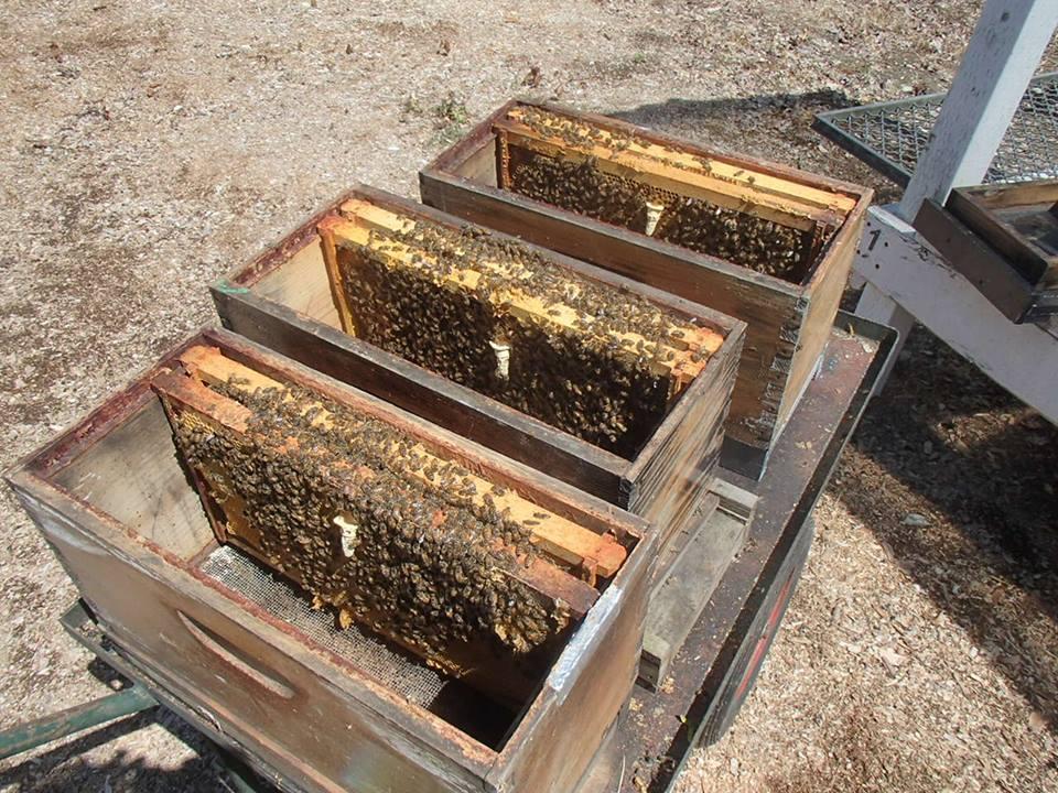 satılık arı 4