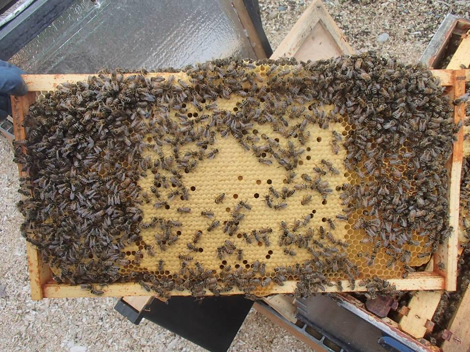 satılık arı 7