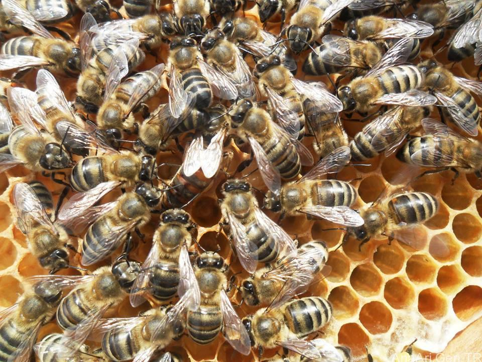 Giresun Ana Arı