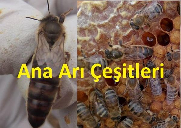 ana arı çeşitleri