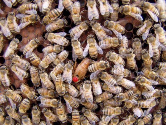 ana arı fiyatları 1