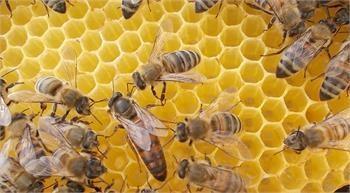 ana arı fiyatları 2