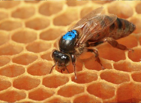 ana arı fiyatları 4