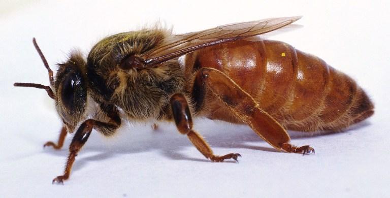 ana arı fiyatları 5