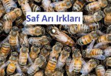 saf arı ırkları
