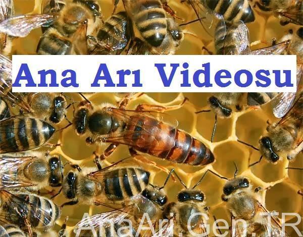 ana arı videosu