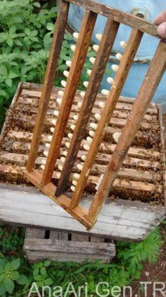 kraliçe arı 1
