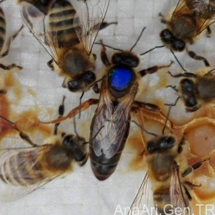 kraliçe arı 2