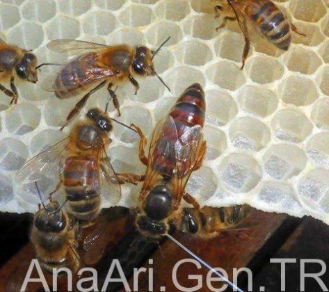 kraliçe arı 3
