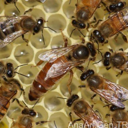 kraliçe arı 4