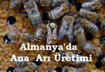 Almanya'da Ana Arı Üretimi