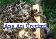 ana arı üretimi