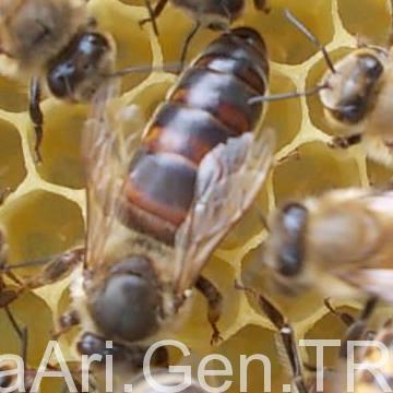 ana arı nedir 1