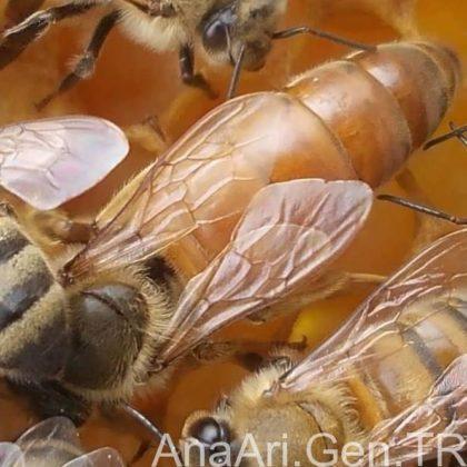 ana arı nedir 2