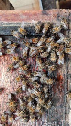 ana arı nedir 3