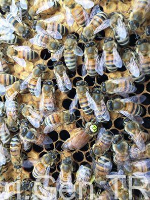 ana arı nedir 4