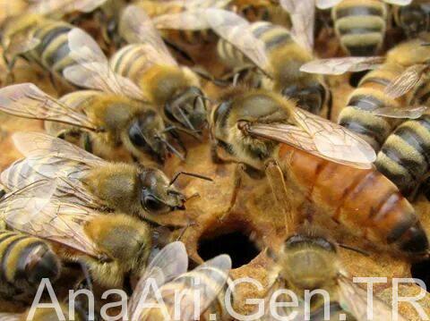 melez ana arı