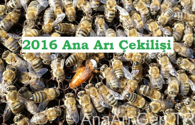 2016 ana arı çekilişi